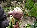 Rabano Pichiu Ancash Peru 13112009.JPG
