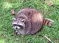 Racoon Ragunan Zoo.jpg