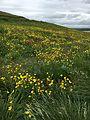 Ranunculus acris01(ms).jpg