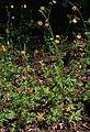 Ranunculus acris Prague 2014 1.jpg
