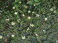 Ranunculus trichophyllus 070811a.JPG
