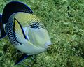 Ras Mohamed Surgeonfish - Acanthurus sohal.jpg