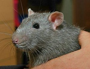 Grimace scale (animals) - Closeup of the face of an agouti Russian blue rat