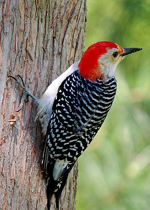 Red-bellied Woodpecker on a tree. (Wikipedia)