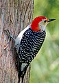 Red-bellied Woodpecker on tree.JPG