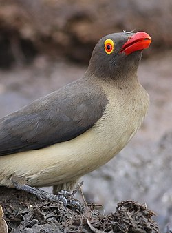 Red-billed Oxpecker, Buphagus erythrorhynchus, at Kruger National Park, South Africa (20894536382).jpg