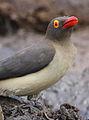 Red-billed Oxpecker, Buphagus erythrorhynchus, at Kruger National Park, South Africa (20894536382).jpg