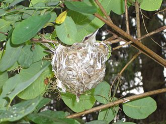 Cook Forest State Park - A Red-eyed vireo in its nest at Cook Forest State Park