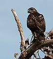 Red-tailed hawk at Detroit River International Wildlife Refuge (30650196391).jpg