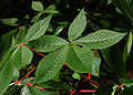 Red Buckeye Aesculus pavia Leaf Cluster 2800px.jpg