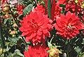Red Dahlia (4264214083).jpg