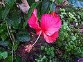 Red Hibiscus Flower 2.jpg