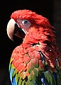 Red Macaw (3311728409).jpg