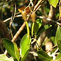 Red Mangrove Propagules - Flickr - treegrow (1).jpg