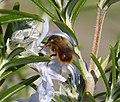 Red Mason Bee. Osmia bicornis male (33185629514).jpg