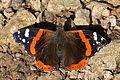 Red admiral butterfly (Vanessa atalanta) 2.jpg