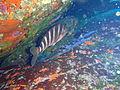 Red moki at South East Bay, Three Kings Islands PA121514.JPG