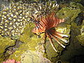 Red sea-reef 3415.jpg