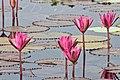 Red water lilies.jpg