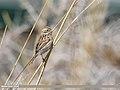 Reed Bunting (Emberiza schoeniclus) (49718380211).jpg