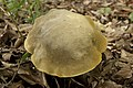 Retiboletus ornatipes 11.jpg