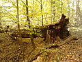Rezerwat przyrody Dęby w Meszczach 201012 12.17 01.jpg