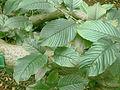 Rhamnus alpina (leaves).jpg