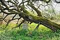 Rhamnus cathartica Ehner Luxembourg 03.jpg