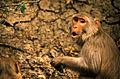 Rhesus Macaque (Macaca mulatta) (19916972084).jpg