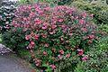 Rhododendron 'Mrs James Horlick' 1.jpg