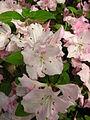 Rhododendron 'Yablonka' 01.JPG