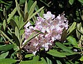 Rhododendron Tuiranpuisto Oulu 20180521 06.jpg