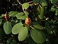 Rhododendron davidsonianum.jpg