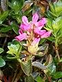 Rhododendron hirsutum 2018-05-22 2537.jpg