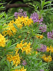 Rhododendron luteum 03.JPG