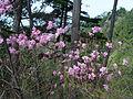 Rhododendron pentaphyllum var. nikoense in Mount Nagiso.jpg
