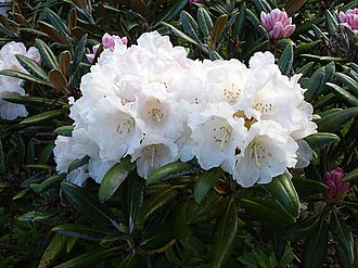 Taplejung District - Rhododendron