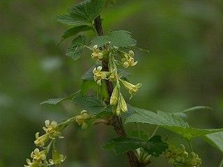 <i>Ribes americanum</i> Berry and plant
