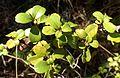 Ribes viburnifolium kz2.jpg