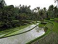 Rice Paddies. Gunung Kawi, Bali 1626.jpg