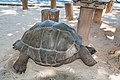 Riesenschildkröte auf den Seychellen (25745727348).jpg