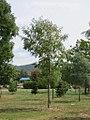 Robinia pseudoacacia - bagrem 2.jpg
