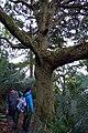 Roble (Quercus humboldtii) - Flickr - Alejandro Bayer (2).jpg