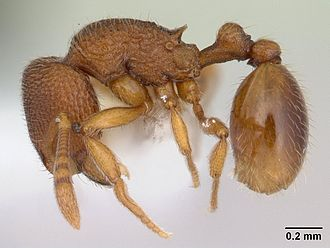 Rogeria (genus) - R. innotabilis worker from Mexico