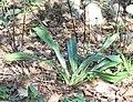 Rohdea japonica s6.jpg