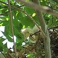 Rookery - 7 17 19 - Snowy Egret chicks (48319585517).jpg