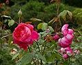 Rosa 'Benjamin Britten' David Austin 2001 02.jpg