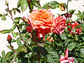 Rosa 'F95040' F. Ferrer 2002 RPO.jpg