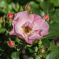 Rosa 'Jacky's Favorite' (d.j.b) 03.jpg