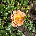 Rosa 'Jazz' (d.j.b).jpg